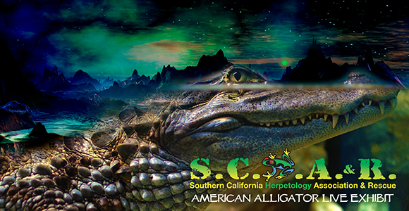 SCHAR - HADES - the God of the Underworld - a Live American Alligator