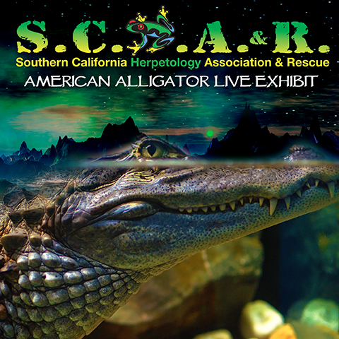 Live American Alligator - Hades - God of the Underworld